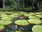 Lily Pads die Messung bis zu 3 Metern, Pamplemousses, Mauritius.